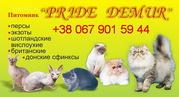 Питомник кошек *PRIDE DEMUR* в Хмельницком