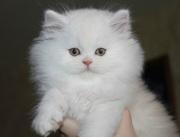 Продаютса настоящие персидские котята: Девочка и Мальчик