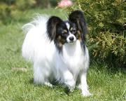 папиллон,  папильйон,  собака-бабочка - элегантные маленькие собачки