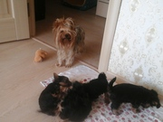 Кукольные щеночки йоркширского терьера