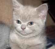 Продаются шотландские вислоухие котята.