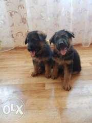 Продам щенков немецкой овчарки КСУ