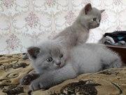 Продаються шотландські прямовухі кошенятка