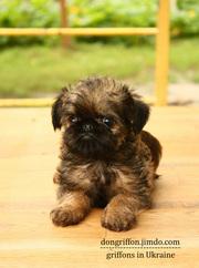 Гриффоны - маленькие собачки,  4-6 кг