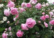 продам розы,  саженцы роз