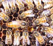 Продам пчеломаток итальянской породы