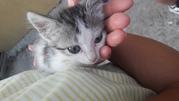 Передержка для котенка или хозяин СРОЧНО