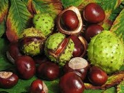 плоды каштана конского