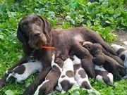 немецкий дратхаар щенки от роб родителей
