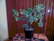 Продам вазон толстянка (Денежное дерево)
